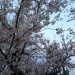 私の花見~山本の場合~